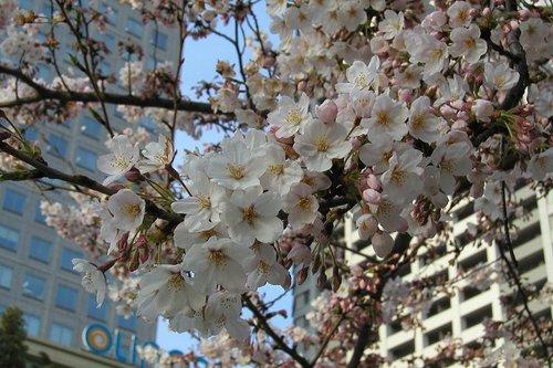 ビル街の桜