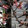 一分咲きの河津桜