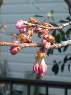 今日の河津桜