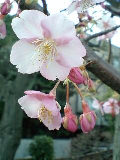 おっ! 桜…