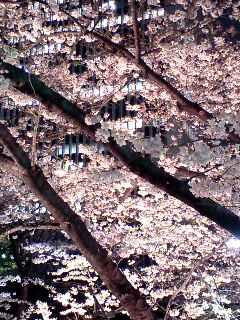 ひっそりと夜桜