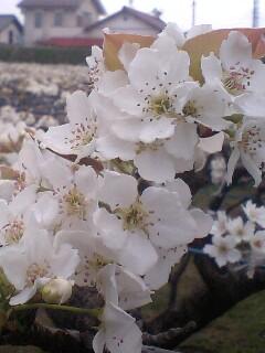 桜を追うように